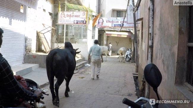 Идём за коровами в Храм Маданамоханы