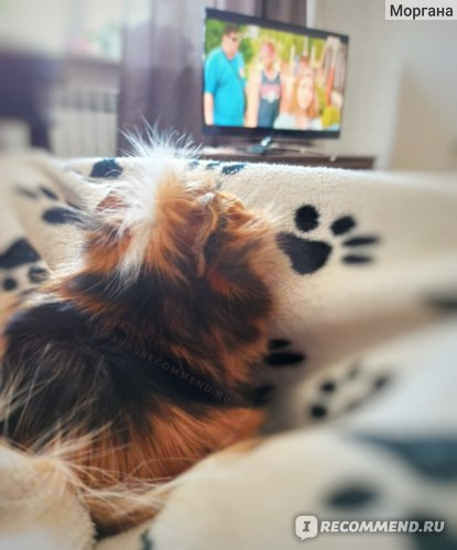 Совместный просмотр ТВ. Морская свинка Абиссинская (Розеточная морская свинка)