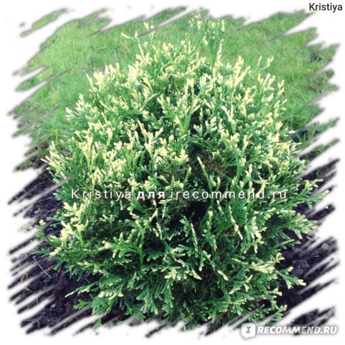 Туя западная Пикадилли (Thuja occidentalis Piccadilly)