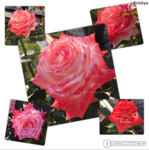Роза чайно-гибридная Императрица Фарах (Imperatrice Farah), Дельбар (Delbard) фото