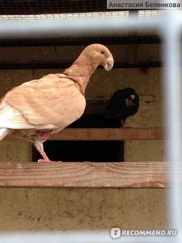 Немецкий почтовый голубь