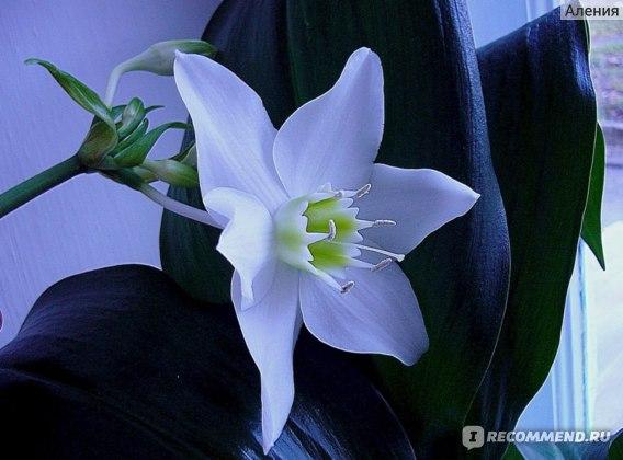 Цветок по форме напоминает нарцисс