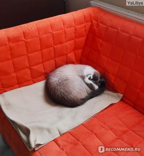 Балинезийская кошка (балийская кошка, балинез) фото