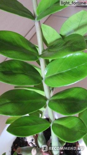 Замиокулькас листья
