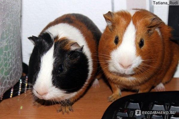 мои свинки)))*