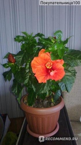 Гибискус, роза китайская фото