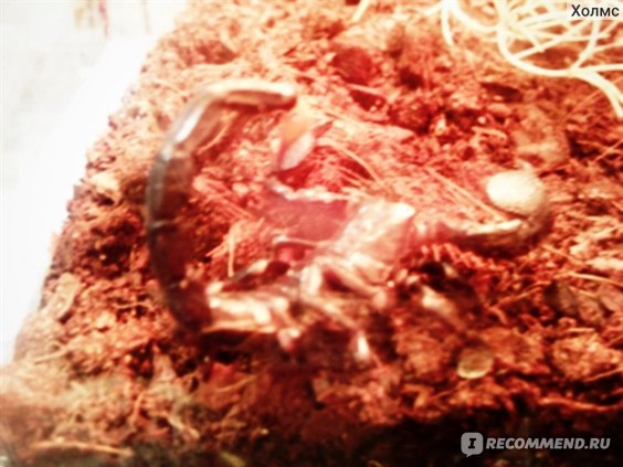 Скорпион (насекомое) фото
