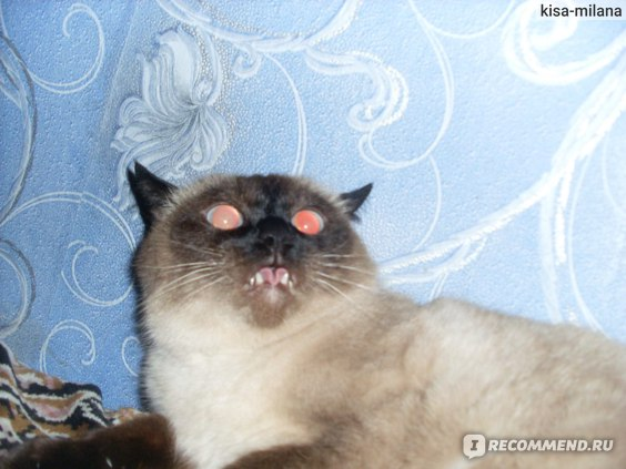 Тайская кошка фото
