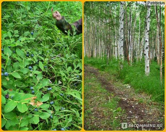 березовые рощи и кусты с голубикой