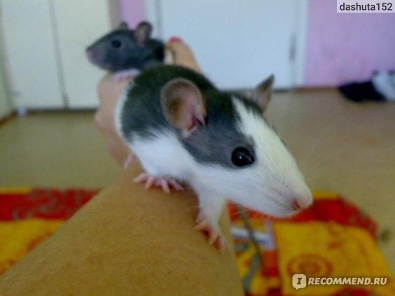 Декоративная крыса фото