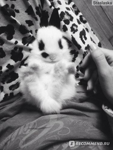 Карликовый кролик фото
