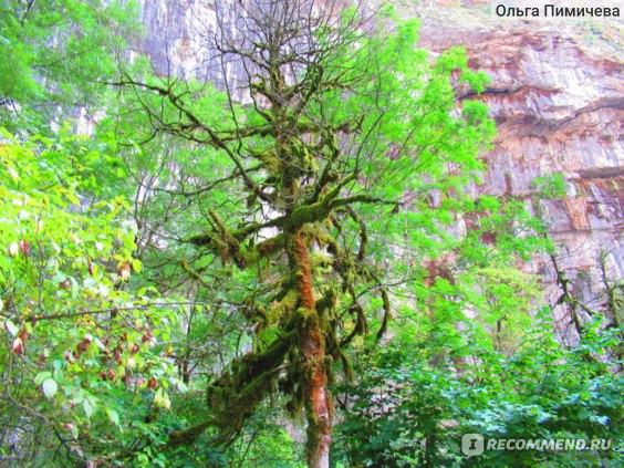 Самшитовые деревья