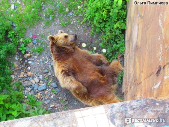 Медведь на отдыхе. Тебердинский заповедник