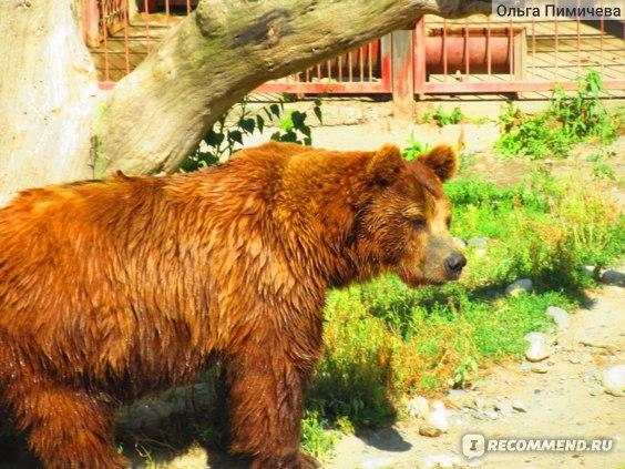 Медведь. ТЕБЕРДИНСКИЙ ЗАПОВЕДНИК