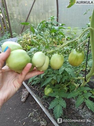 Сорт томата Сызранская пипочка фото