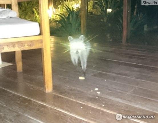 Наш ночной грабитель енотка