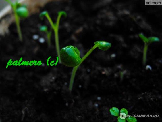 Лекарственные травы  шалфей фото