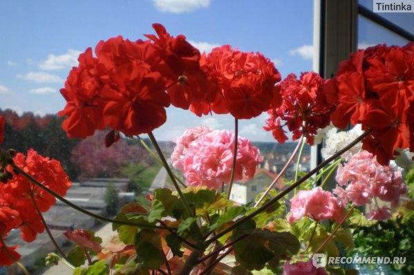 Герань (пеларгония) фото