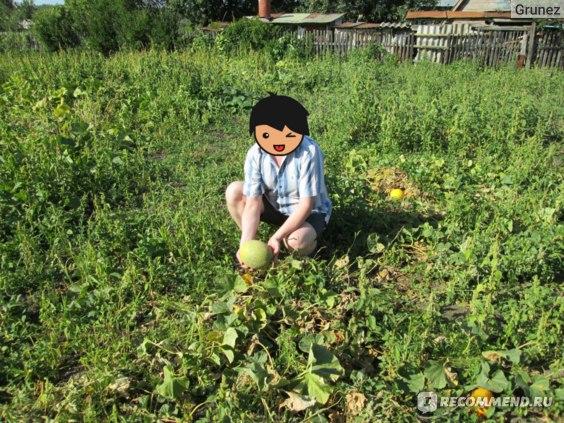 Ягода   Дыня фото
