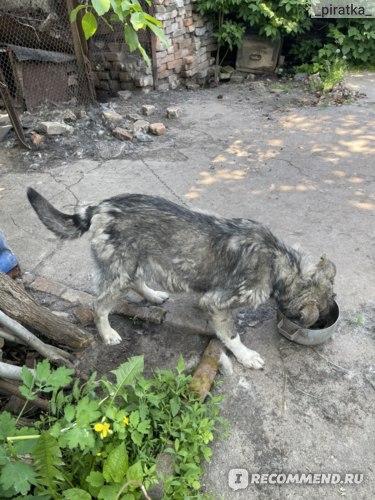 Экспресс-тест на бешенство для собак Rabies Ag