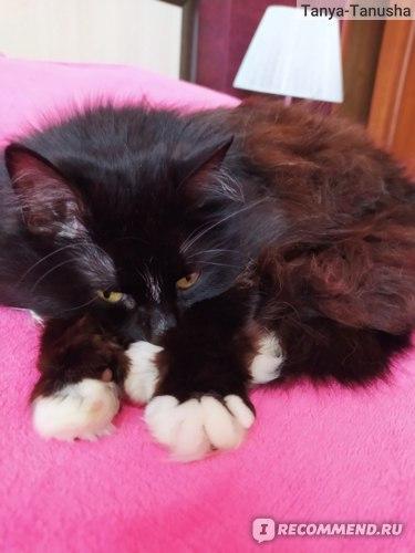 Отзывы о поведении сибирских кошек