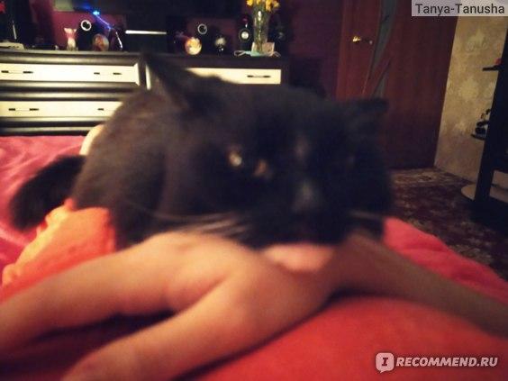 Сибирская кошка как ведёт себя с людьми