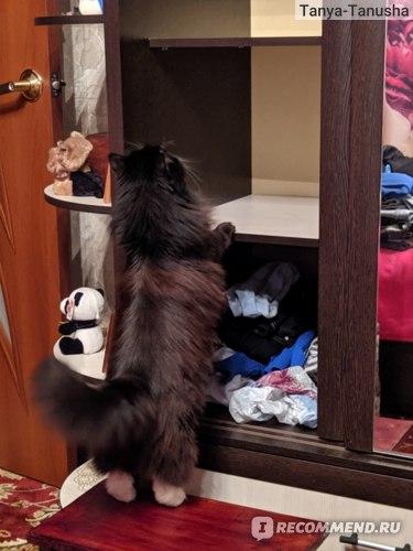 Стоит ли заводить кошку сибирской породы