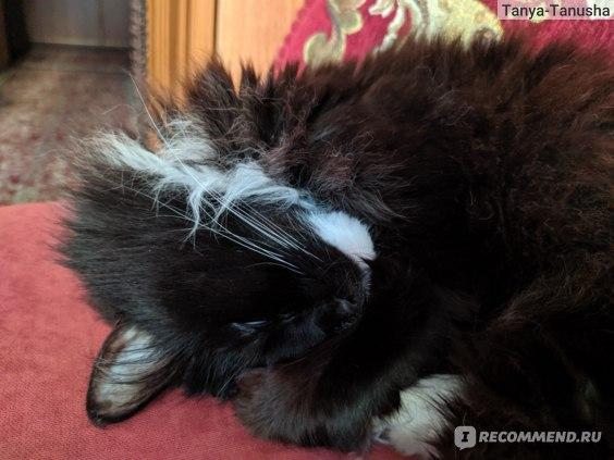 Есть ли аллергия на сибирских кошек