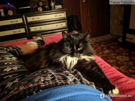 Отзывы о характере кошки сибирской породы