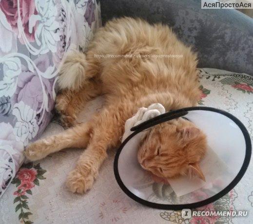 Лечение абсцессов у кошек