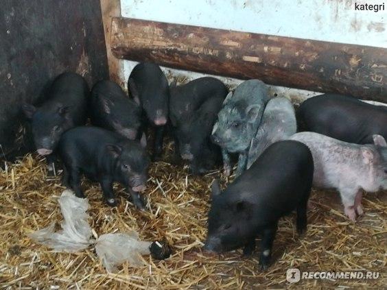 Свинья вьетнамская фото