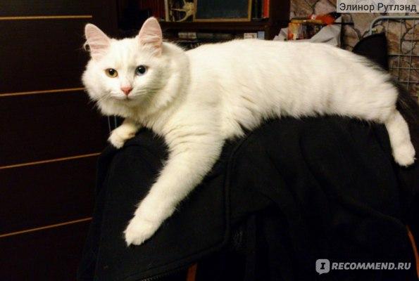 Вот в такую царственную красавицу выросла Шани из робкого котенка. Лежит на спинке кресла