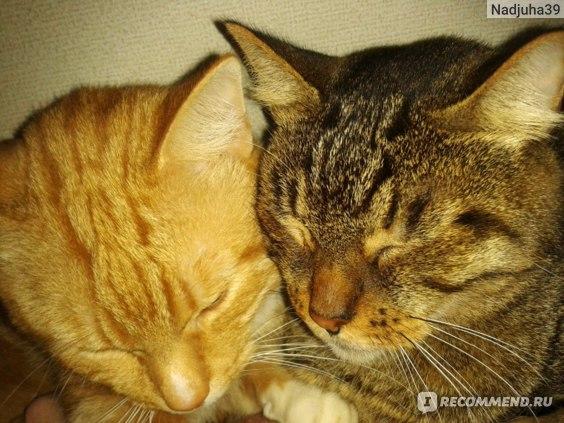 Цистон для кошек