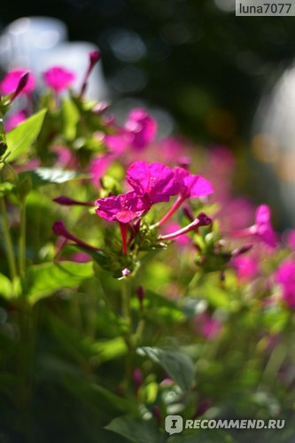 Мирабилис ялапа, или ночная красавица фото