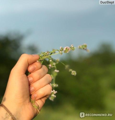 Лекарственные растения   Чабрец фото