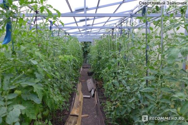 Семена Уральский Дачник Томат Красным Красно F1 фото