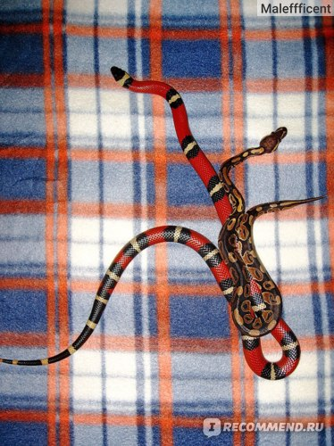 В сравнении с синалойской змеёй