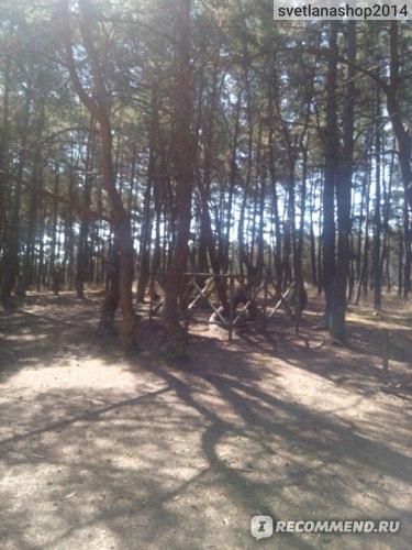 Танцующий лес. Особо ценные экземпляры отгорожены от туристов.