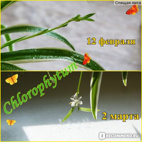 Хлорофитум фото