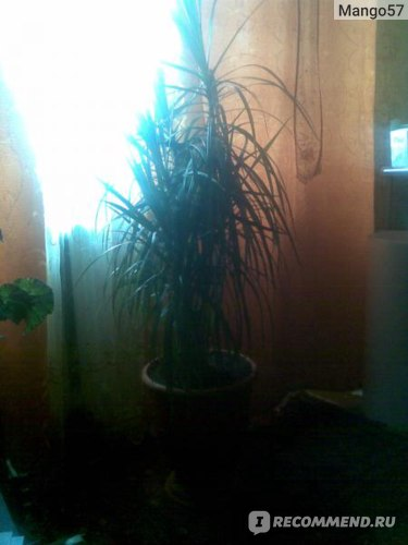 Драцена Dracaena marginata фото