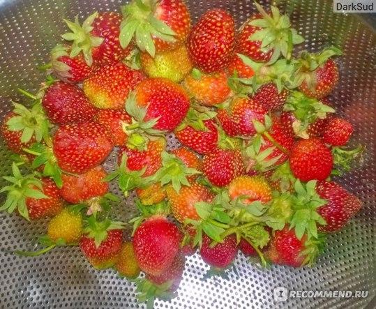 Сама ягода