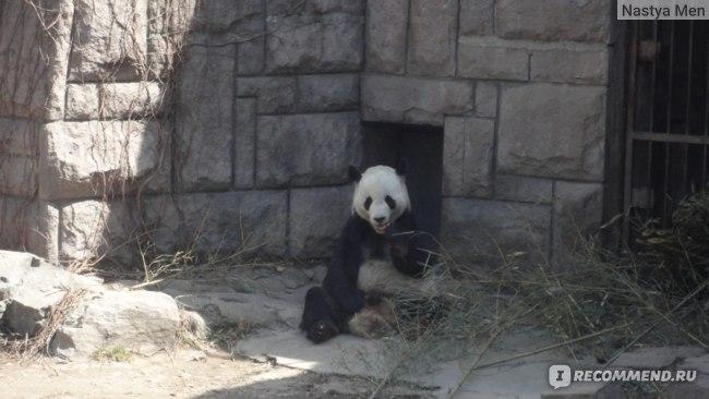Бедная панда