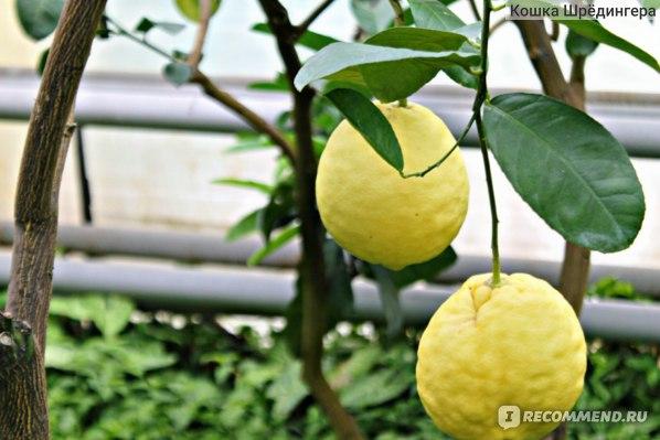 Лимонарий, Саратов фото