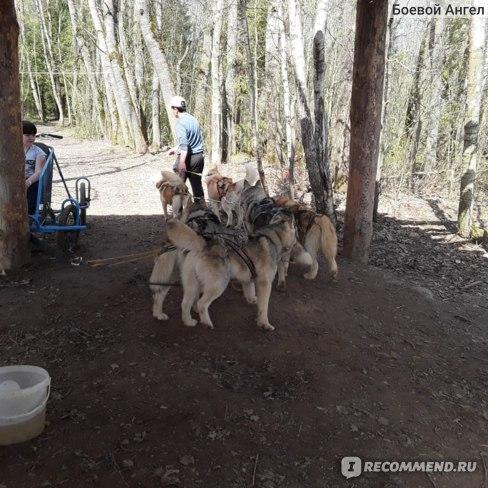 Хаски в упряжке поворачивают в лес