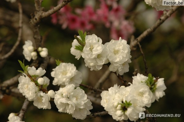 Персик цветёт!