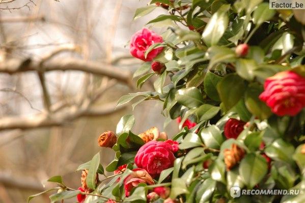 Камелия начинает цвести зимой!