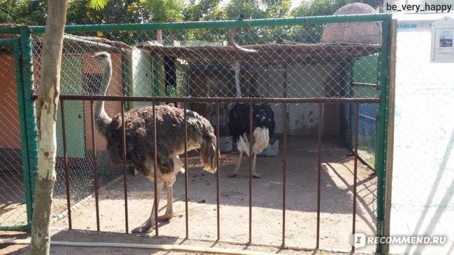 Зоопарк: страусы