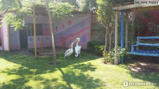 Зоопарк: пеликаны