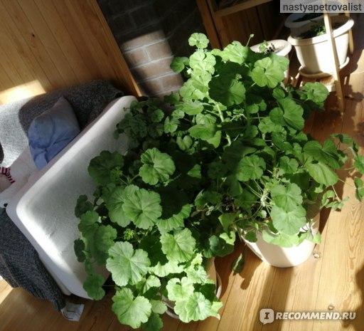 Ещё один вариант роста моей герани. Фото апрельские. Круглые вазоны стоят на полу на веранде.