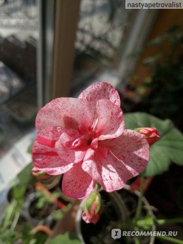 Пеларгония Toscana Flic Flac Red фото